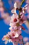 almond-tree-flowers_30256